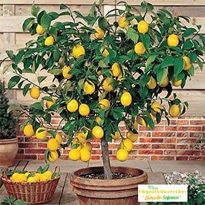 evde limon ağacı