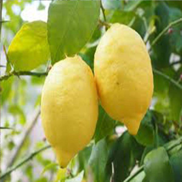 Kütdiken Limon ağaci fidani