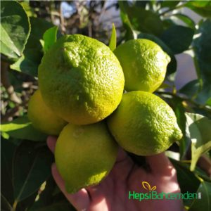 kütdiken Limon agaci fidani