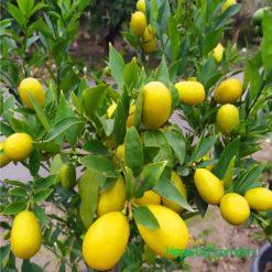 limequat-agaci-fidani-limon