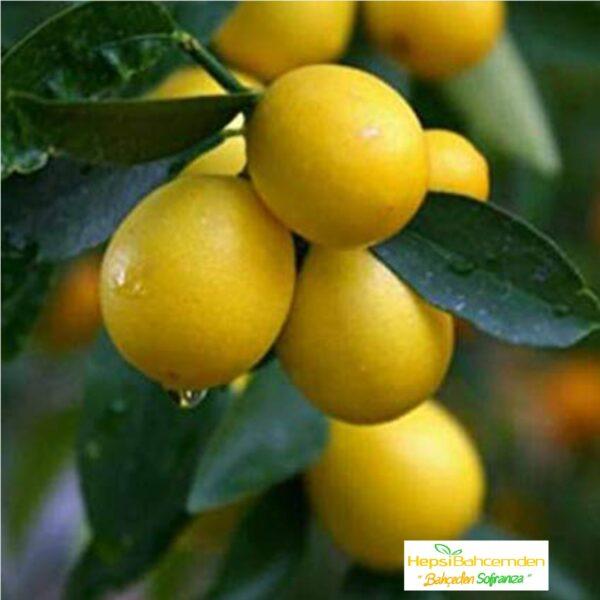 limequat agaci fidani