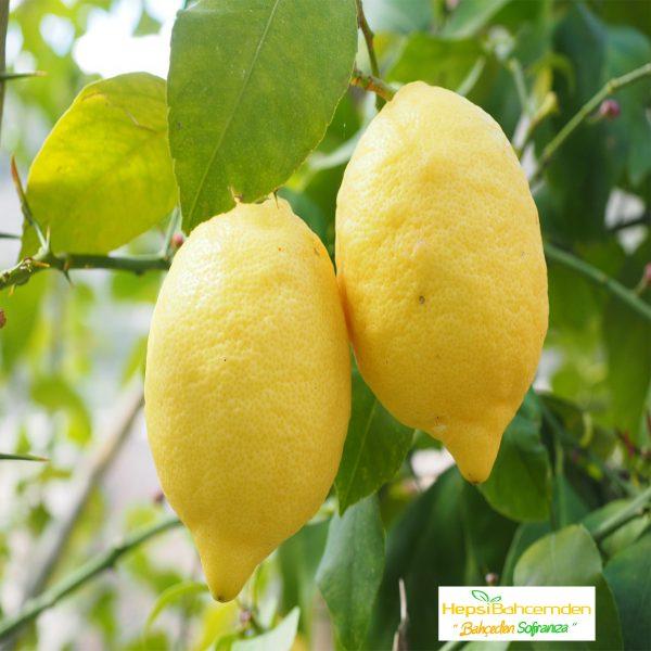 aydın limon fidanı