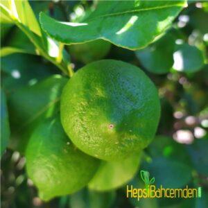 aydın Limon ağacı