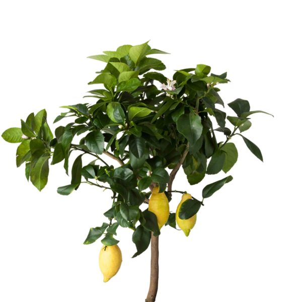 limon fidani agaci