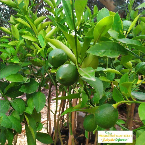 yediveren limon ağacı