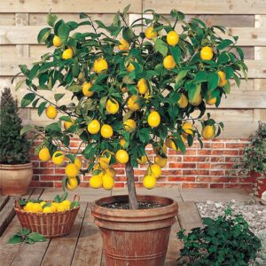 mayer limon agaci fidani