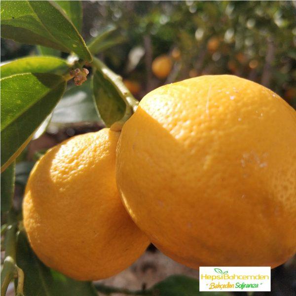 sarı limon