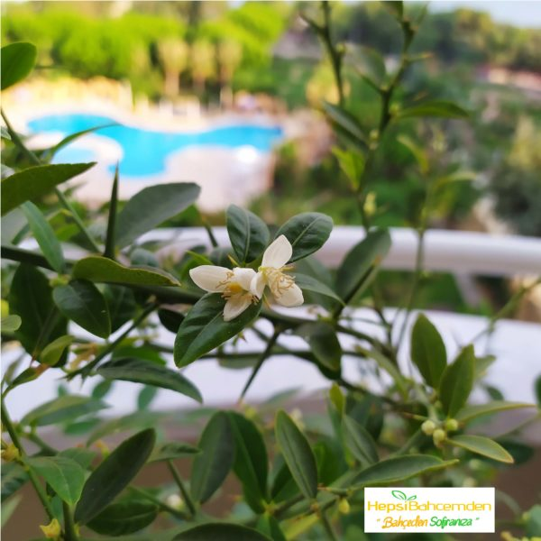 Lime limon ağaç