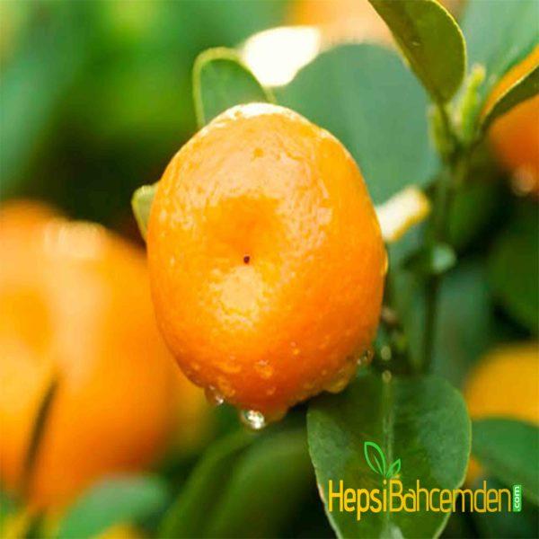 mandarin agaci fidani