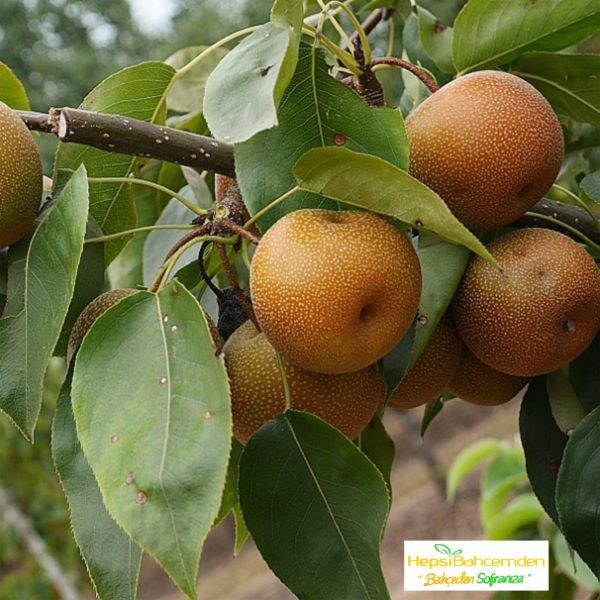 tropik meyve fidani