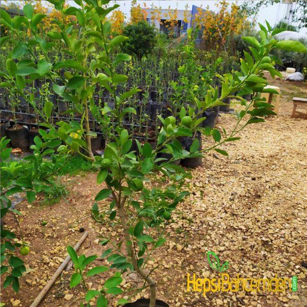 misket limonu ağacı nasıl yetiştirilir