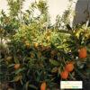Altin portakal