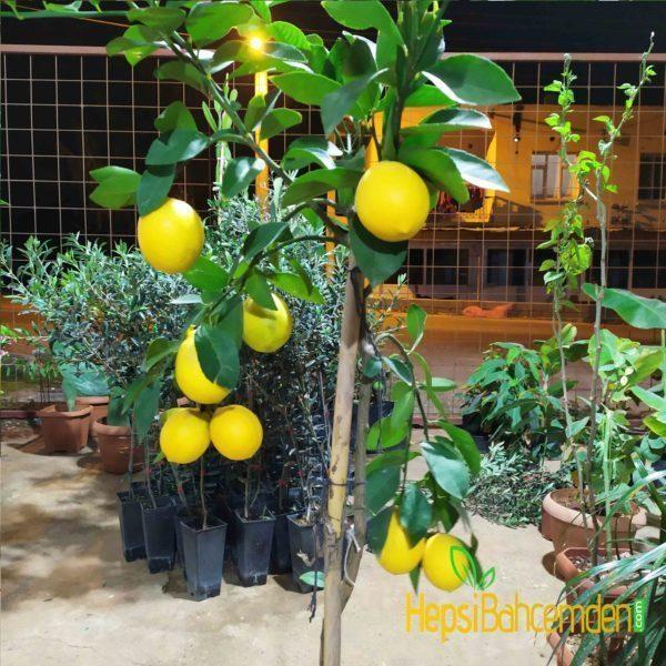bonsai-limon-bodur