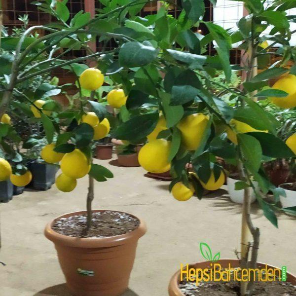 buyuk-limon-agaci