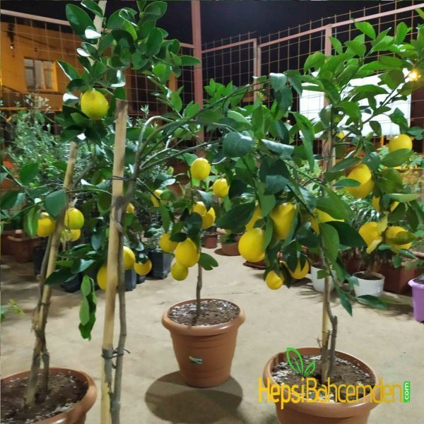 buyuk-limon-agaci-fidan