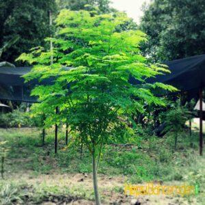 mucize Moringa oleifera fidani