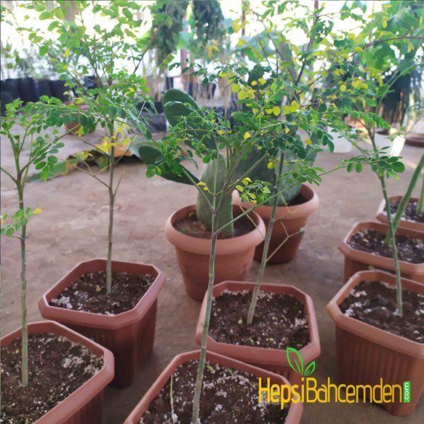 Moringa oleifera fidani