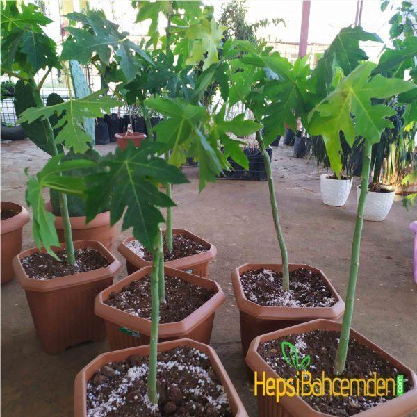 Papaya ağacı