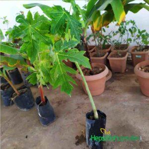 2 yas papaya kavun agaci fidani