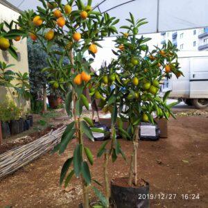 Altın portakal ağaci fidani