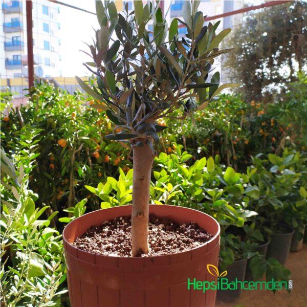 bonsai gemlik zeytin agaci nedir
