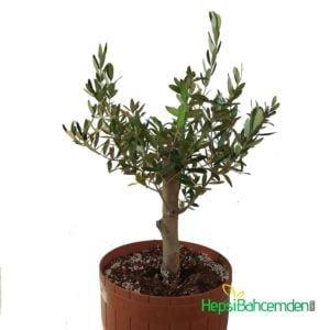 bonsai gemlik zeytin agaci