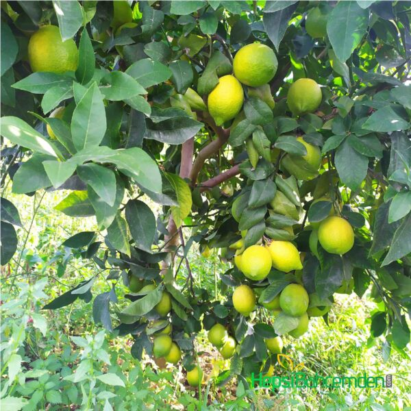 karadal limon fidani