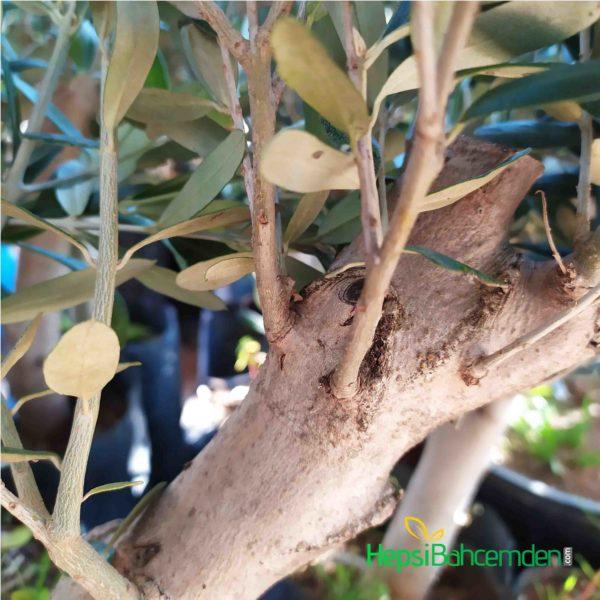 bonsai zeytin agaci