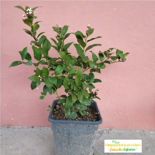limon-meyer-bonsai