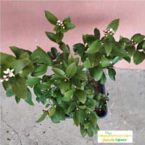 limon ağacı tam bodur bonsai
