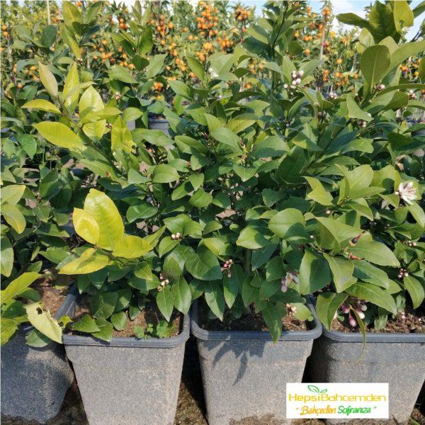 tam bodur minyatür limon bonsai agac fidan yediveren