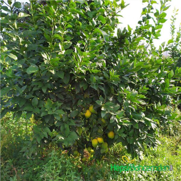 zagana limon fidani