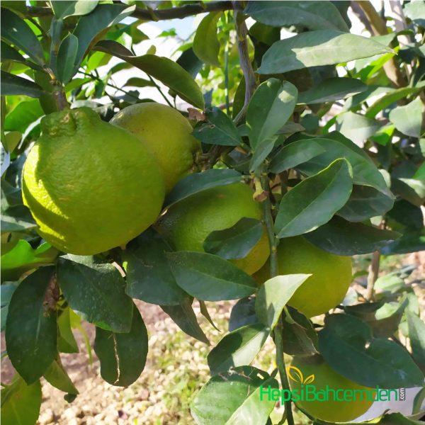 bergomat agaci fidani meyveleri