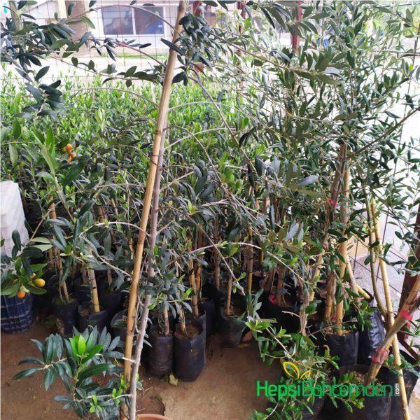 mersin arbequnia zeytin ağacı
