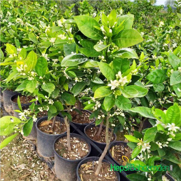 bodur mandalin ağacı