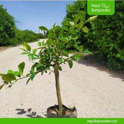 bodur Limon Ağacı