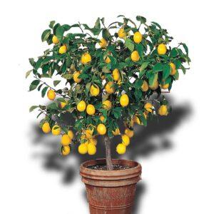 Limon Ağacı Fiyatları