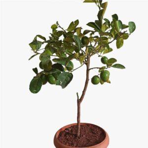 meyveli Limon Ağacı