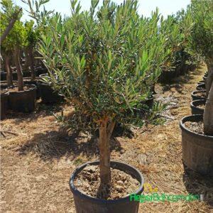 10 yaş Zeytin ağacı fidani