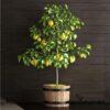 Bodur Büyük Mayer Limon Ağacı