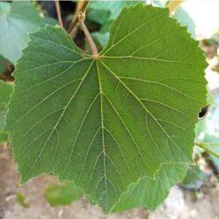 üzüm dolmalık yaprak
