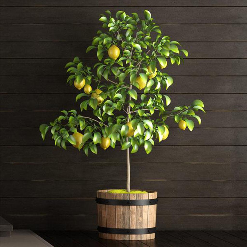 Meyer Limon Ağacı Mersin