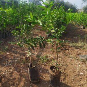 Bodur Limon kamkat ağacı