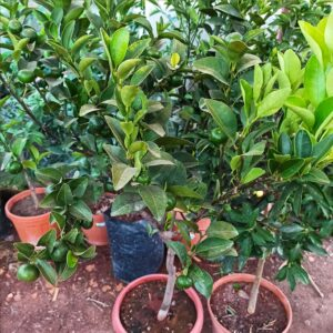 Hediyelik Mandalin Calomondin ağacı