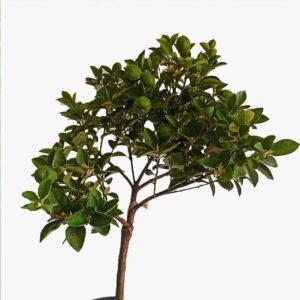 Obatava kamkat ağacı