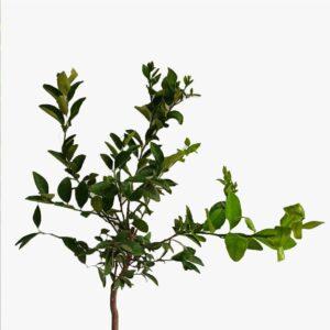 Limon Ağacı Yediveren
