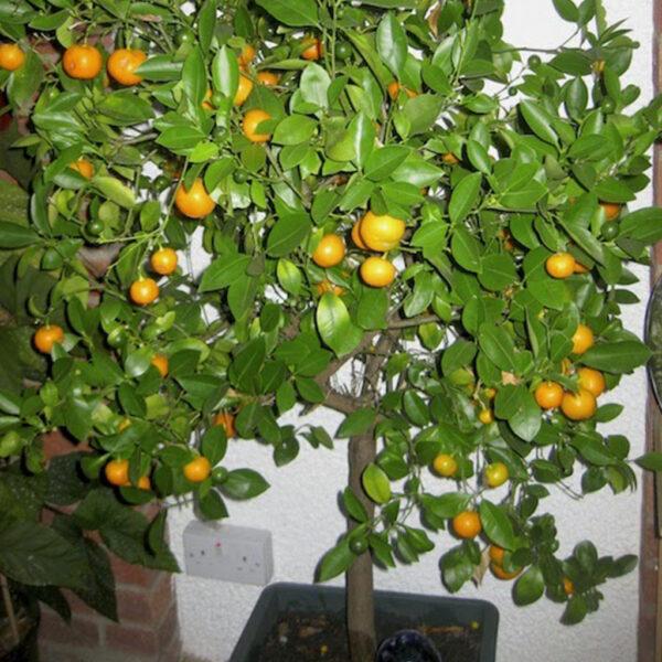 Süs Mandalin Ağacı