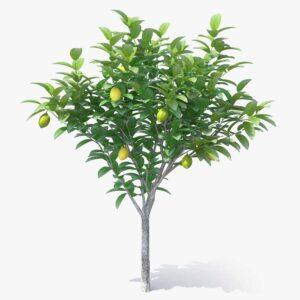 Mersin Limon Ağacı