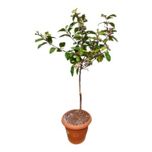 Limon Ağacı Saksılı Yediveren Jumbo Mayer