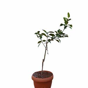 Limon Ağacı Tam Bodur Yediveren Mayer